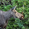 Female Moose, Cape Breton Highlands National Park - Nova Scotia