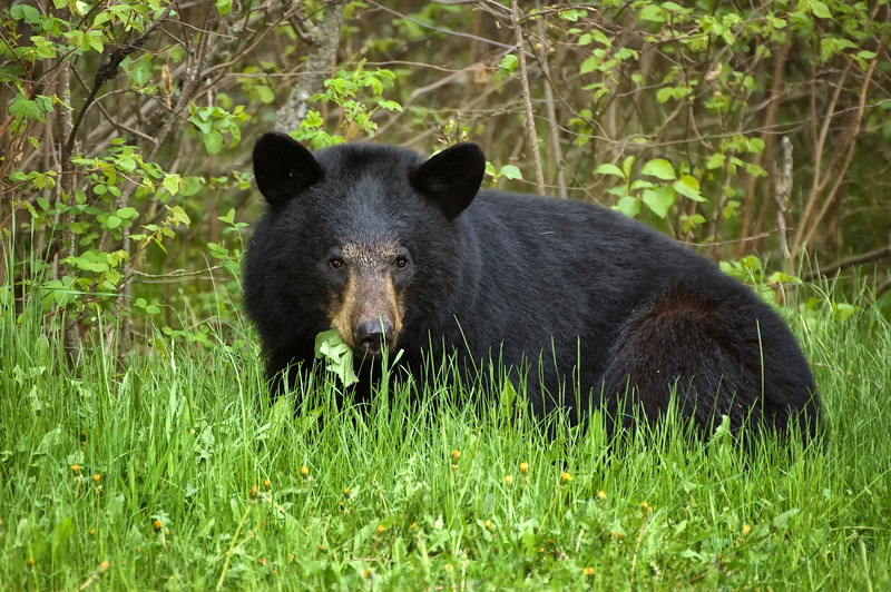 Black Bear - Riding Mountain National Park, Manitoba