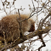 Porcupine in Tree - Manitoba