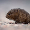 Meadow Vole (Field Mouse) - Labrador