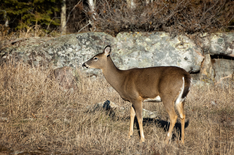 White-tailed Deer - Pinewa, Manitoba