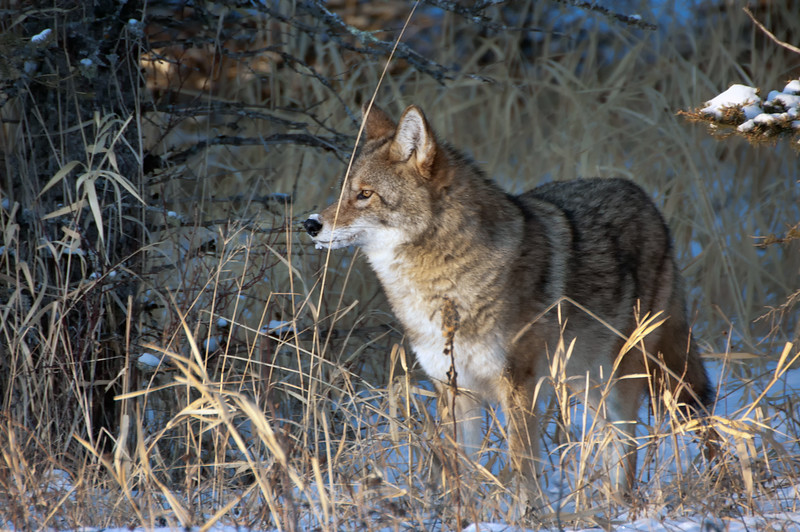 Coyote - Riding Mountain National Park