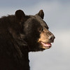 Black Bear - Labrador