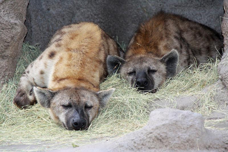 Hyenas, San Diego Zoo, December 2009.
