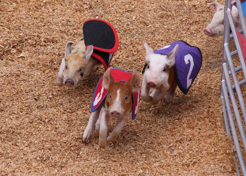 Del Mar Fair, July 2009.  Swifty Swine Pig Races!