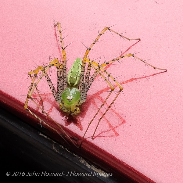 Green Lynx spider on Mary's car fender.  Never had seen one before. About and inch and a half across.