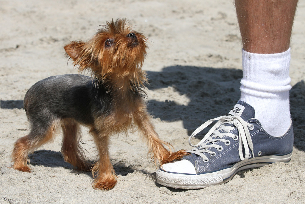 Teacup Yorkie at Dog Beach, Ocean Beach, CA on 6-20-12