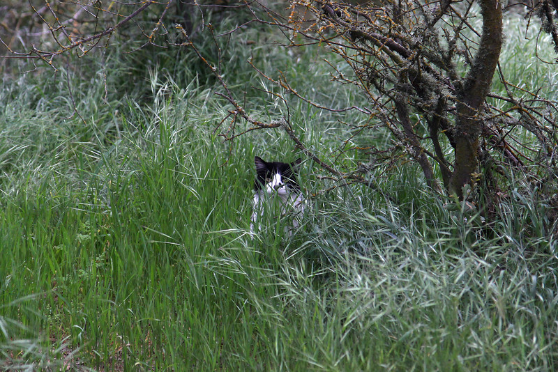 Paso Robles, April 2011.  Morning walk, cautious cat.