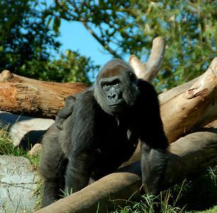 Momma Gorilla - San Diego Zoo December 2006