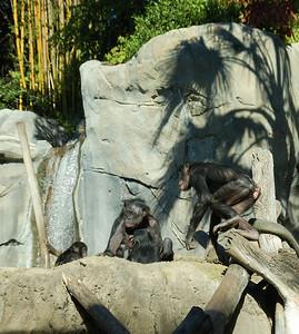 Chimpanzees (Photo 2)- San Diego Zoo December 2006
