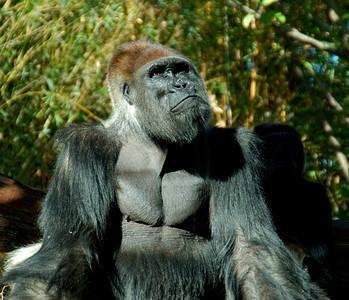 Papa Gorilla (Photo 2) - San Diego Zoo December 2006