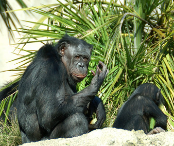 """Chimpanzees - San Diego Zoo Mom saying """"You can't tell these kids anything."""" December 2006"""