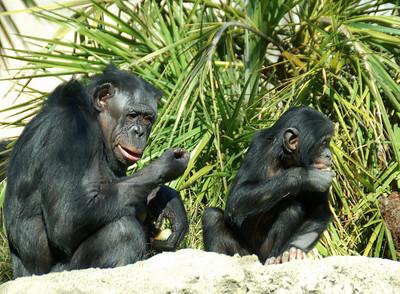Chimpanzees (Photo 3) - San Diego Zoo December 2006