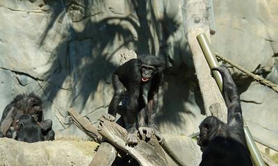 Chimpanzees - San Diego Zoo December 2006