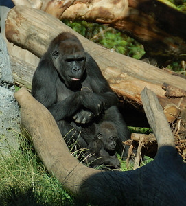 Momma & Baby Gorilla (Photo 2) - San Diego Zoo December 2006