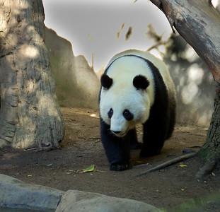Giant Panda - San Diego Zoo December 2006
