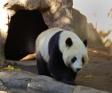 Giant Panda (Photo 2) - San Diego Zoo December 2006