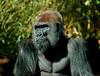 Papa Gorilla - San Diego Zoo<br /> December 2006