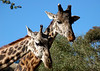 Giraffes - San Diego Zoo<br /> December 2006