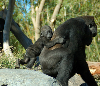 Baby Gorilla with Mom - San Diego Zoo December 2006