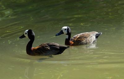Asian Ducks - San Diego Zoo December 2006
