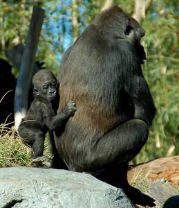 Baby Gorilla - San Diego Zoo December 2006