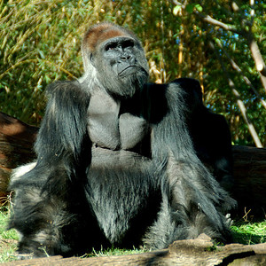 Another of Papa Gorilla San Diego Zoo - December 2006