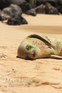 Hawaiian Monk Seal.  Yes, it is alive