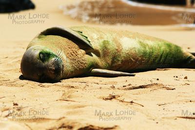 A Green Hawaiian Monk Seal Just Chilling in the Hawaiian Sun.   Yep, it is alive.