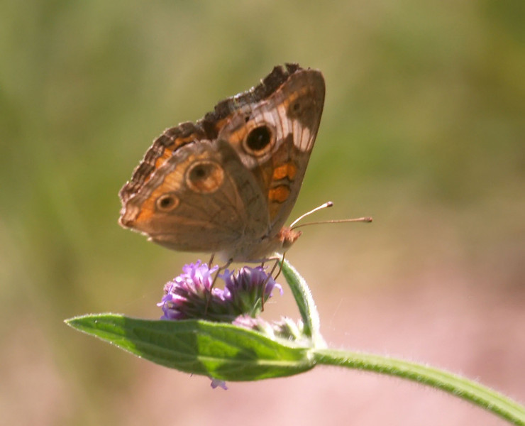 Butterfly on purple weed 3