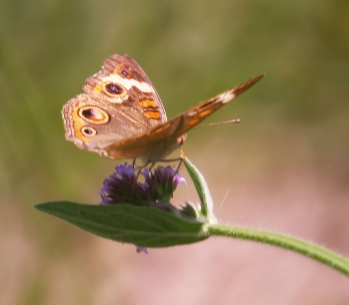Butterfly on purple weed 2