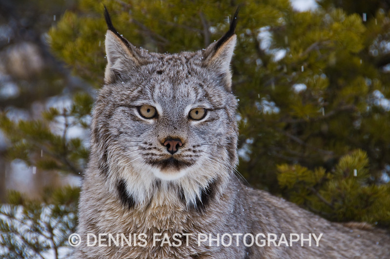 LYNX PORTRAIT  The less marked face and longer ear tufts help to separate the lynx from the bobcat. The lynx also has inordinately large feet to help it walk on snow. Both animals somewhat resemble the common house cat, but their power is considerably greater.