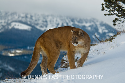 MOUNTAIN LION  Although the mountains in the background are a perfect setting for this aptly named cat, the mountain lion actually ranges throughout much of wild North America. Its habitat is shrinking, however, and increasing contact between lions and humans is causing consternation for both. Perhaps the mountains will be its lasting refuge after all.