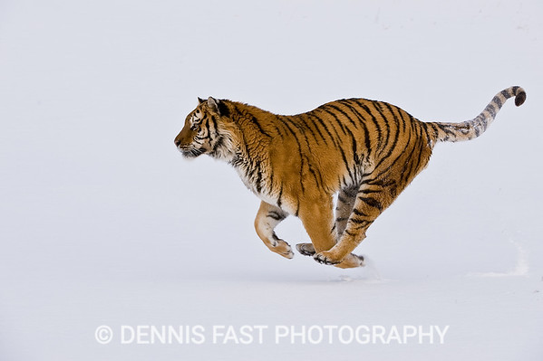 AMUR TIGER.  The Amur (Siberian) tiger is quite familiar with snow in its native habitat, so it was no surprise to see this one enjoying it as much as he did. I felt fortunate to capture him in full stride with all four feet off the ground, and his tail arching in joy.