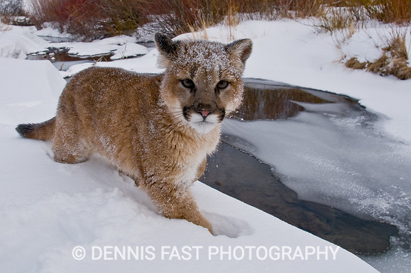 STOP LOOKING AT ME LIKE THAT!  This juvenile mountain lion and his buddy at Animals of Montana loved chasing each other in the snow. He may look a little cross here but he was actually having a great time. It was a real treat to be so close that I could make this photo with a wide-angle lens.