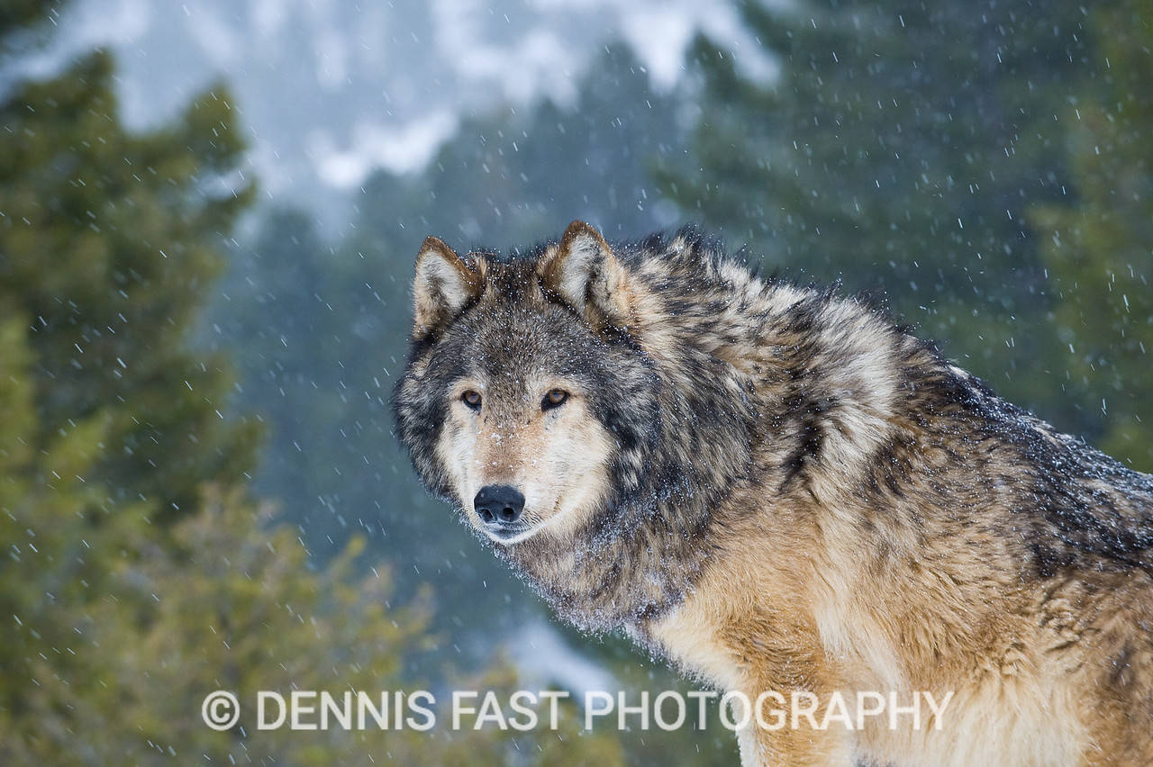 GRAY WOLF IN SNOWSTORM.  I love to photograph birds and animals when snow is coming down. The quiet atmosphere produces a feeling of oneness with nature and its creatures that brings peace to the soul. I am afraid that modern man has lost his sense of place in the wilderness. We should all get out more often when snow is falling.
