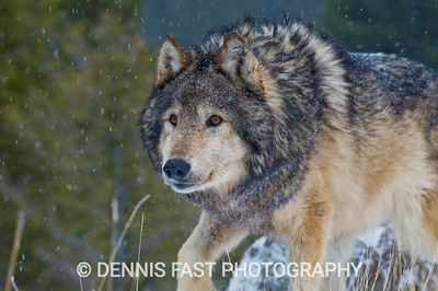 GRAY WOLF STALK.   The combination of a stalking pose and fresh snow falling lend an air of realism to this photo even in a captive situation. You don't really want to be the object of that stalk; but I have been followed by wild wolves without being threatened by them. They are masters at keeping out of site while keeping you in view at all times.