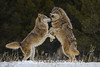 LEAVE ME ALONE!  In a typical wolf pack only the alpha male and female get to breed and produce young. Unfortunately, the alpha female was constantly flirting with the subordinate male above, which caused him much stress. If he didn't repel her advances he was going to get beat up by the alpha male! Life is tough even in a wolf pack.