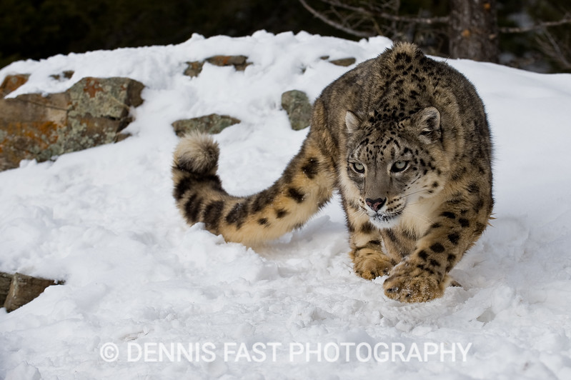 SNOW LEOPARD.  The snow leopard is one of the least observed cats in the wild. Roaming the high mountains of Afghanistan and beyond, it is rarely seen by humans. With a tail as long as its body, the snow leopard suggests elegance and grace.