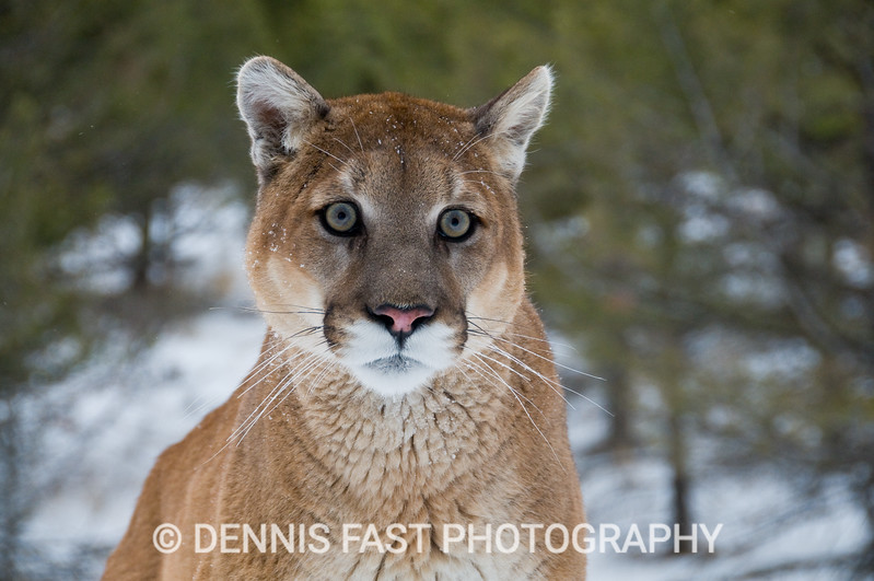 WHO, ME?  The cougar, or mountain lion, has remarkably soulful eyes. When they look right at you however, they seem to be staring through you also.