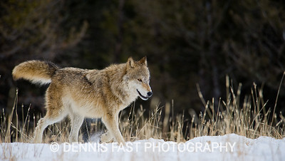 FEMALE GRAY WOLF.  You can almost always recognize the alpha female and male in a pack because they are the ones carrying their tails above the horizontal most of the time. Any other wolf daring to do so would quickly be put in its place.