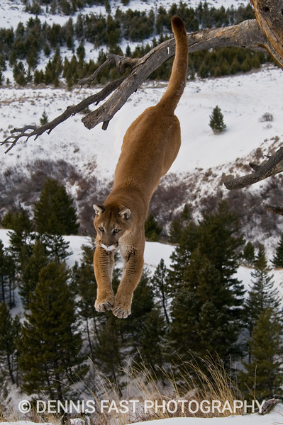 MOUNTAIN LION JUMP.  It was amazing to see the ease with which a mountain lion can leap in and out of trees. Like most cats in the wild, the mountain lion is wide-ranging and elusive. It's power, agility, and intense nature made every photo unique. Most published photos of mountain lions have been made in controlled situations because it is so stealthy and secretive.