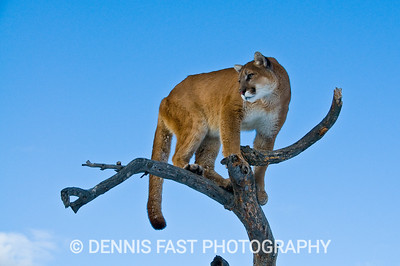 MOUNTAIN LION LOOKOUT  High vantage points are a favourite of the mountain lion. His remarkable vision will detect movement from great distances. On his lofty perch unwary prey might not even notice him till he is on their back.
