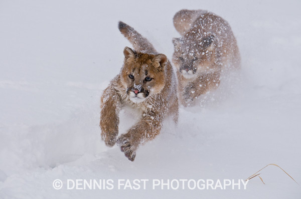 THE CHASE.    These two mountain lion cubs were barely 6 months old so they still played like kittens. Chasing each other at top speed through the snow, it was difficult to predict which way they would turn next. I finally caught the moment as they charged toward me.