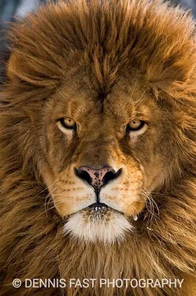 BARBARY LION PORTRAIT.  The Barbary lion has a remarkably serene but craggy face. His indifferent stare seems to be fixed more on the back of his mind then on what is going on before him. Through it all, though, he never forgets his regal ancestry.