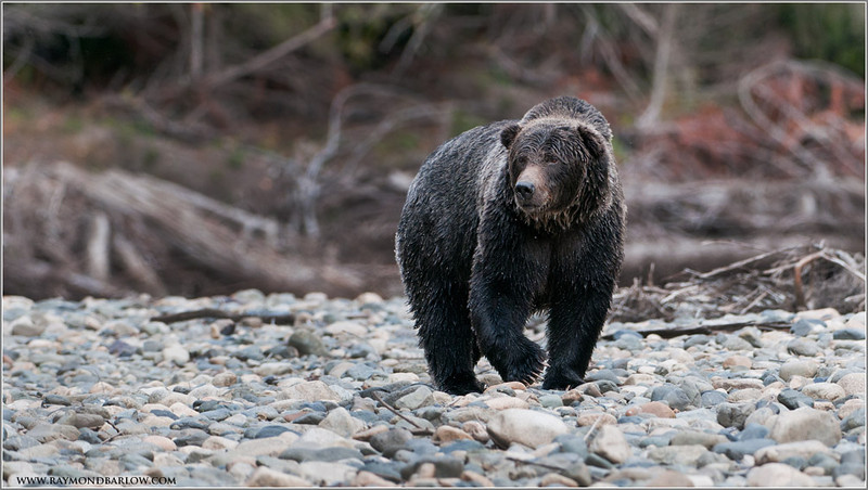 Bella Coola Grizzly Bear