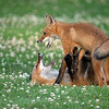It's a Fight!<br /> <br /> So fun to watch and photograph fox pups having a battle.  The scraps only last a few seconds, so we need to be ready with our camera and settings. <br /> <br /> We up the ISO, and hope for enough shutter speed to freeze the intense action.  Every scene needs to be evaluated, then we move to set the camera up and be prepared. <br /> <br /> The correct AF settings are critical also!  This takes a lot of practice and trial and error.  Balance is the key with all settings.  I was quite surprised that 1/640th of a second was quick enough to keep these 2 fox pups looking sharp. <br /> <br /> More depth of field would have helped, but at a cost of a higher ISO.<br /> <br /> There are so many factors involved in getting a shoot like this correct. After many thousands of mistakes, and failed attempts,  I have figured out how to be prepared.  Good fun, and challenging.<br /> <br /> I can only wish I was able to completely eliminate all the junk photos, but that will never happen.  We can only do our best.<br /> <br /> Thanks for looking.<br /> <br /> raymonjbarlow@yahoo.ca - if you would like to join me.