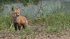 Red Fox Kit on an Adventure<br /> Raymond's Ontario Nature Photography Tours<br /> <br /> ray@raymondbarlow.com<br /> Nikon D810 ,Nikkor 200-400mm f/4G ED-IF AF-S VR<br /> 1/640s f/7.1 at 400.0mm iso400