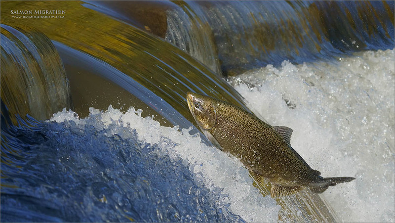 Fish in Flight!<br /> <br /> Salmon Migration<br /> Southern Ontario,  2020<br /> A7r4 + 200-600OSS<br /> Jobu Gimbal head and Algonquin tripod