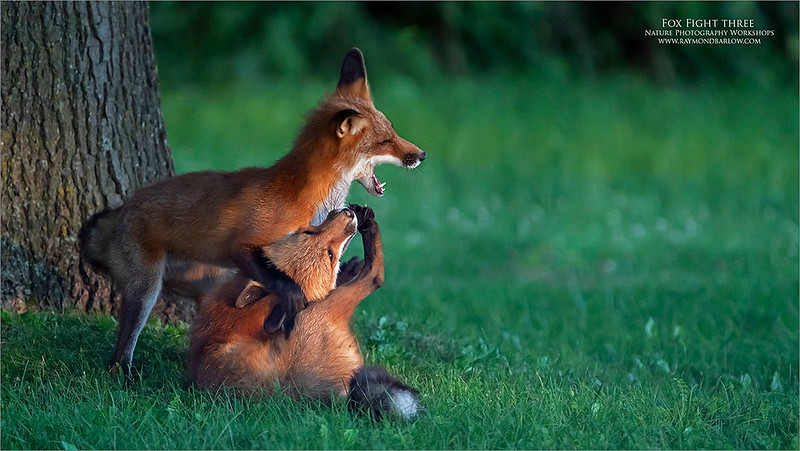 Fox fight Four!<br /> <br /> For the full story, please refer to fox fight one.  Thanks for looking!